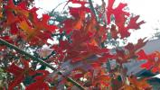 Red Oak Leaves at Pomarosa